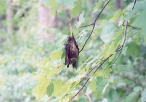 bat by gallatin river